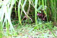 寄生植物ナンバンギセルの花 - 平凡な日々の中で
