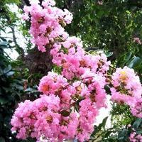 「ピンクの産着似合わぬ息子サルスベリ」 - 健気に育つ植物たち