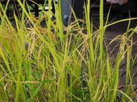 稲の中に何かいる…? - ときの杜『散策日記』(穂の香/ほのか・あや音/あやね・燈いろ/といろ)