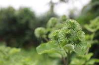 もうすぐ白露:ごぼうが花を咲かせようとしています。 - 週刊「目指せ自然農で自給自足」