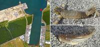 2019・9・3  石狩湾新港中央水路花畔護岸先端部の釣り13:00〜17:00 - たどり着いたら、いつもチカ釣り