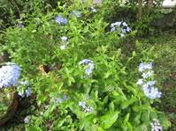 初秋の庭は草いっぱい - 花の自由旋律