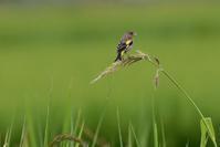 草の実を啄むカワラヒワさん - 鳥と共に日々是好日