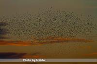 夕映えと群翔 - 野鳥 飛翔フォト
