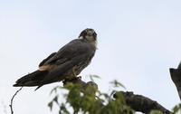 チゴハヤブサ:幼鳥ももう十分移動可です - 赤いガーベラつれづれの記