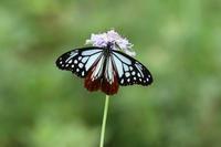 スジボソヤマキチョウ - 蝶のいる風景blog