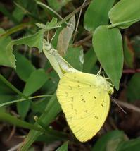キタキチョウの交尾 - 秩父の蝶