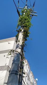 街の電信柱に「ホップ」のつる - nshima.blog