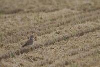 田んぼ巡り続けてます。【ケリ・ムナグロ・コチドリ】 - 鳥観日和
