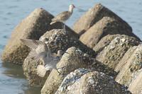 テトラに降りるチュウシャクシギ - 近隣の野鳥を探して2