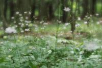 赤城自然園のレンゲショウマ最終章1 - 光の音色を聞きながら Ⅳ