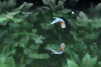 川のセミ - 気ままな生き物撮り Ⅱ