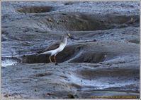 ソリハシシギ 食べ物探しでウロウロ - 野鳥の素顔 <野鳥と日々の出来事>