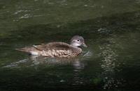 湯川で越夏するオシドリ - コーヒー党の野鳥と自然パート3