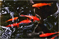 池の金魚 - HIGEMASA's Moody Photo