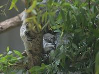 小さなコアラ、幼い母親 - bonsoir