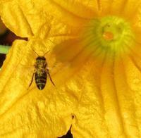 カボチャの花に蜂が - @ la pie.fr