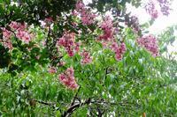 雨上がりの公園で、百日紅やレンゲショウマなど - ぶらり散歩 ~四季折々フォト日記~
