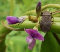 #マメ科 #カメムシ 『大豆の原種 と 亀虫』 - 自然感察 *nature feeling*