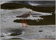 アカアシシギ食べ物探しでウロウロ - 野鳥の素顔 <野鳥と日々の出来事>