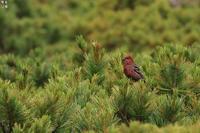 北海道の思い出ギンザンマシコ - 野鳥公園