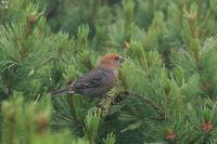 北海道の思い出ギンザンマシコの若 - 野鳥公園