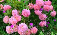日本ローズライフコーディネーター協会「この夏、あなたのお庭やベランダで元気に咲いていたバラは何ですか?」アンケート結果 - バラとハーブのある暮らし Salon de Roses