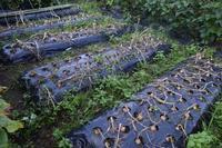 自然栽培5日連続の快晴診察の後玉ねぎの収穫 - 自然栽培 釧路日記