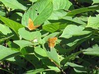 山ではクモガタヒョウモンが覚醒 - 秩父の蝶