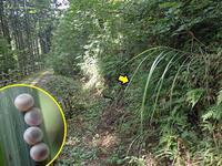 ホソバセセリの卵塊 - 秩父の蝶