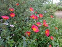 ポーチュラカ - だんご虫の花