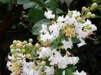 庭では夏の花がまだ頑張っていますが、セミに変わって秋の虫が鳴き出しています - 山のmochiの晴耕雨読