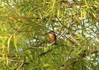 昨日のカワセミ - 北の大地の野鳥たち