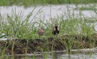 田んぼ巡りの休耕田で(ヒバリシギとムナグロ) - 私の鳥撮り散歩