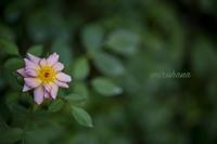 薔薇頑張ってます。 - MIRU'S PHOTO