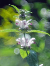 赤城自然園夏の花たち1 - 光の音色を聞きながら Ⅳ