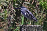 ササゴイ。 - 季節の野鳥~Wildbirds archives