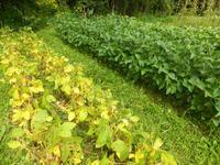 自然農畑 8月下旬~9月上旬 - 孤独と私