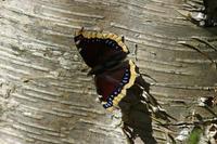 キベリタテハ白樺の高原で - 蝶のいる風景blog
