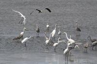 タシギ他調整池の鳥たち - 今日の鳥さんⅡ