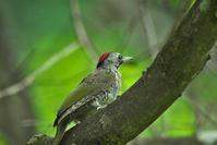 アオゲラ - 今日も鳥撮り