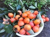 富有柿 - だんご虫の花