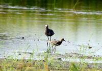 コモンシギその2 - 私の鳥撮り散歩