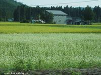 蕎麦の花と秋田こまち~♫ - アリスのトリップ2