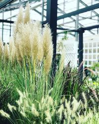 パンパスグラス - さにべるスタッフblog     -Sunny Day's Garden-