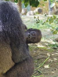 ひょっこり[]京都市動物園] - a diary of primates