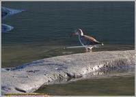 アカアシシギやっと見つけた大好物 - 野鳥の素顔 <野鳥と日々の出来事>