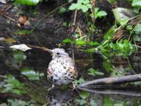 黒ツグミの幼鳥 - 小さなお庭のある家(パート2)