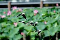 セイタカシギの飛翔 - azure 自然散策 ~自然・季節・野鳥~