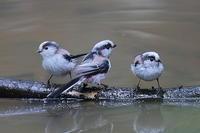 エナガの群れ - 上州自然散策2